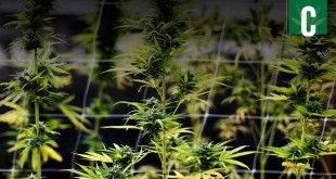 California allows marijuana cultivation